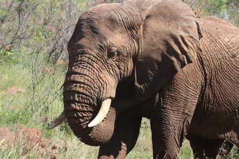 black elephant  brown  green grass  daytime
