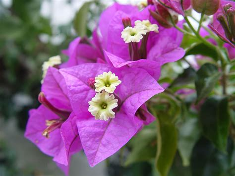 plants flowers 187 bougainvillea glabra