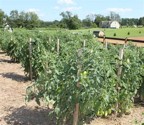 World Garden Farms by The To Growing Great Tomatoes Grow Your Best Crop