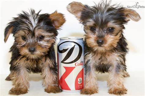 yorkie grown age terrier yorkie puppy for sale near columbus ohio dd3d8143 e451