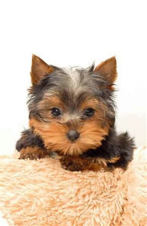 yorkie husky 17 best images about baby yorkies and huskys on chihuahuas siberian husky