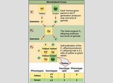 8.2 Laws of Inheritance – Concepts of Biology – 1st ... F1 Generation Punnett Square