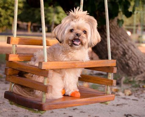 shih tzu runny nose hypoallergenic breeds now to