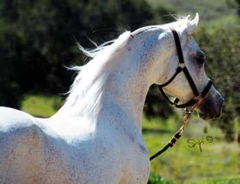 Sho Kuda Berapa kaaba pedigree