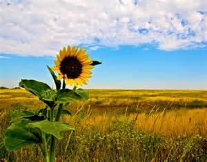 sunflowers in kansas kansas prairie google search kansas sunflowers pinterest