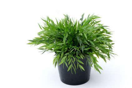 piante in vaso da interno rimuovere i moscerini dalle piante da interno in vaso