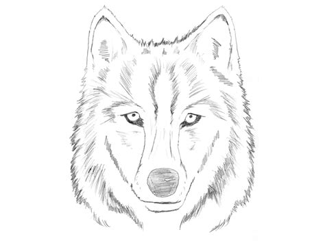 Sketches Wolf by Simple Wolf Sketch Sketch Coloring Page