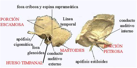 imagenes de huesos temporales huesos del craneo temporal