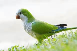 interesting facts about quaker parrots