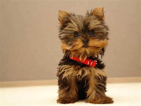 all yorkie breeds meet the breed terrier