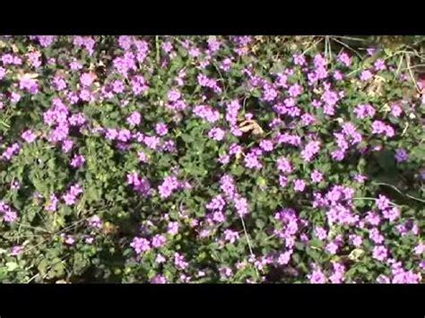 purple trailing lantana ground cover. youtube