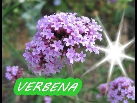 imagenes de flores verbenas la verbena beneficios y propiedades para la salud youtube