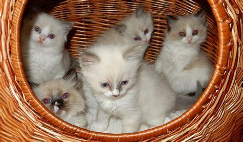 rag doll meaning ragdoll cat cats camael cz