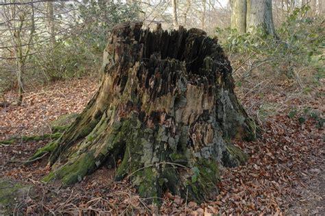 tree stump the ole tree stump already answered
