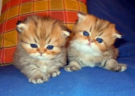 gatti persiani bianchi oltre 1000 idee su gattini persiani bianchi su