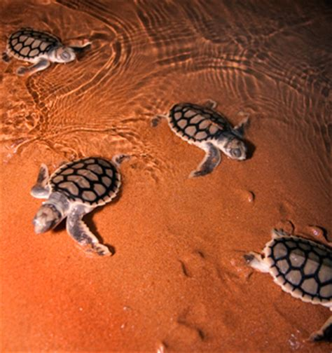 life through the eyes of a turtle australian geographic