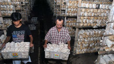Bibit Jamur Tiram Bekasi budidaya jamur tiram bogor berita daerah
