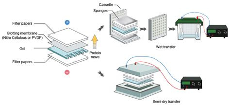 western blot cassette western blot transfer angellist