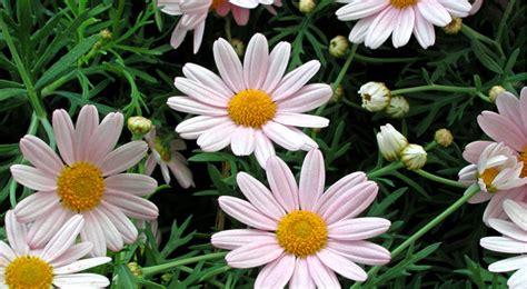 margherite fiori margherite caratteristiche e coltivazione fai da te in