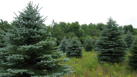 christmas tree photos blue spruce field north pole xmas