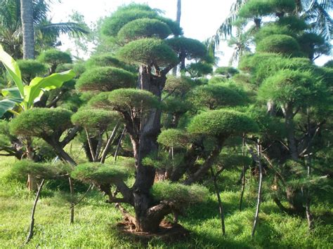 jenis jenis tanaman hias cemara  unik
