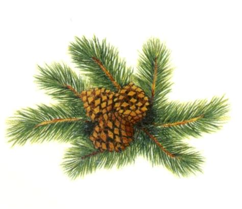 4 pine cone pinecone waterslide ceramic decals tx ebay