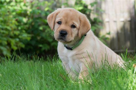 grass puppy wallpaper golden retriever puppy grass adorable dogs wallpapermaiden
