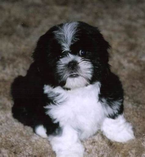 shih tzu maltese temperament shih tzu maltese cross temperament