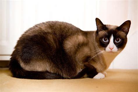 snowshoe images snowshoe cat snowshoe cat information facts and