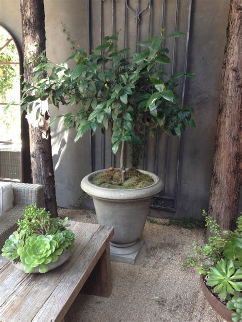 patio tree lemon tree for patio corner patio