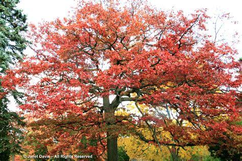 winter bark bough a valentine to trees janet davis explores colour