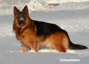 Long coat german shepherd puppies long hair german shepherd puppies
