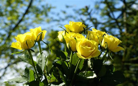 computer wallpaper yellow flower yellow rose wallpapers hd pictures download hd flowers