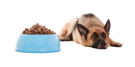 dog won t eat his food but will eat treats why won t my dog eat here s why dogs may refuse food