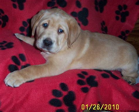 free puppies in dayton ohio brown labrador puppies for sale dayton ohio breeds picture