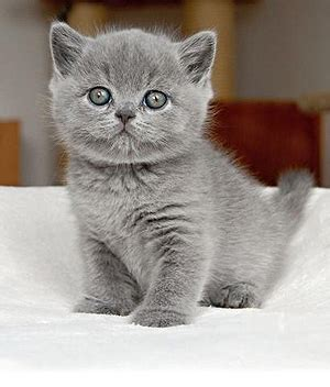 Do American Shorthair Cats Shed A Lot by Names For A Shorthair Cat About Animals