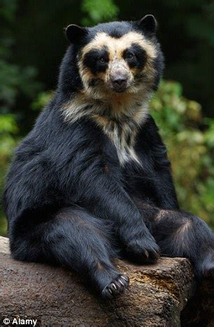 real life paddingtons spectacled bears facing a not so