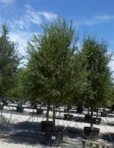 Live Oak Live Oak Tree Dallas Treeland Nursery