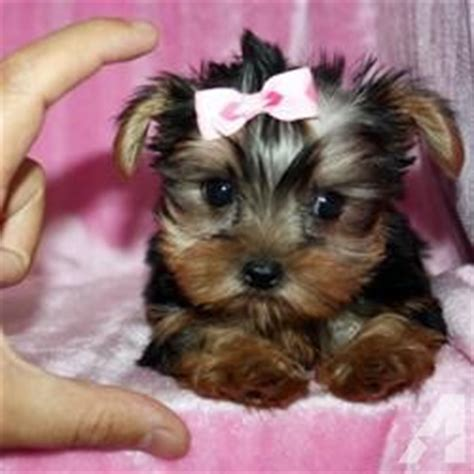yorkie hawaii teacup shorkie puppies for sale in kailua hawaii classified americanlisted