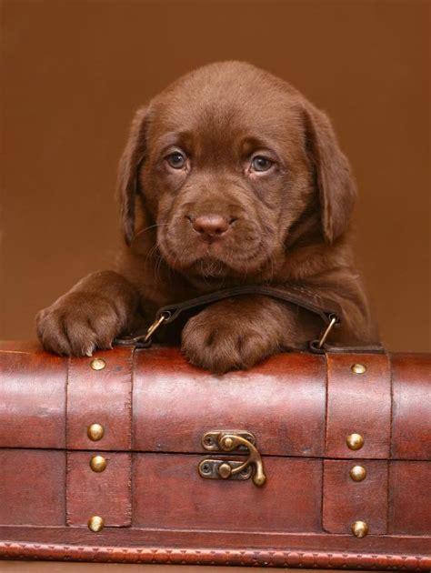 chocolate lab puppy names chocolate lab puppy names slideshow