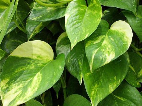 Tanaman Sirih Gading Kuning Pohon Sirih Gading Kuning 0895336476769 sirih ciri ciri tanaman sirih serta khasiat dan manfaatnya situs tanaman obat indonesia