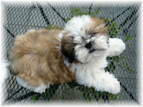 white baby shih tzu ga shih tzu shih tzu puppies for sale in fl al tn sc nc atl jax birm talla