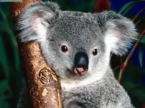 koala wesharepics