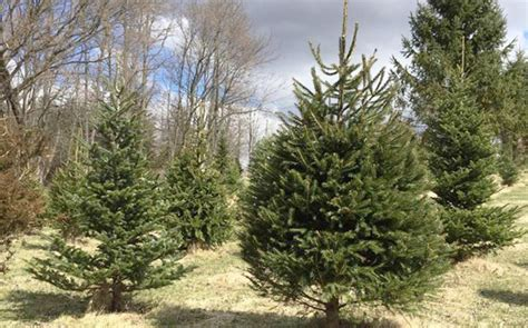 catchy collections of christmas tree farm illinois