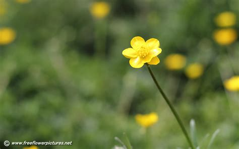 Buttercup Pictures Flower