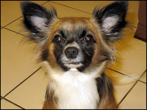 cuts for chihuahua papillon mix long haired chihuahua papillon mix dog breeds picture