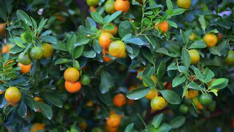 kumquat trees new year new year stock footage