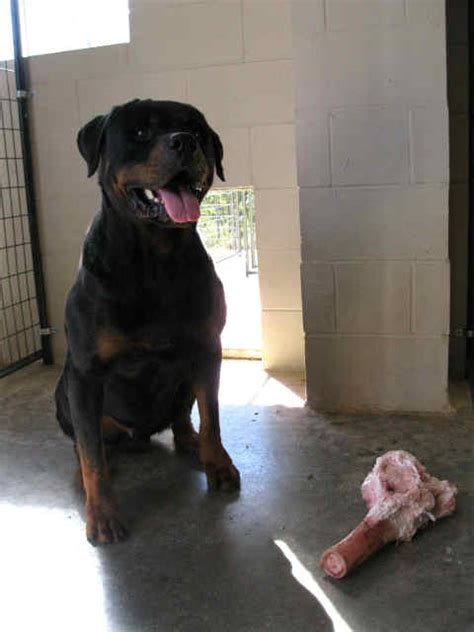 2 month rottweiler 2 months rottweiler dieting todayhealthyz4