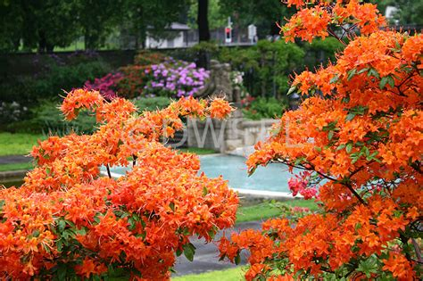 image gallery orange azalea bushes