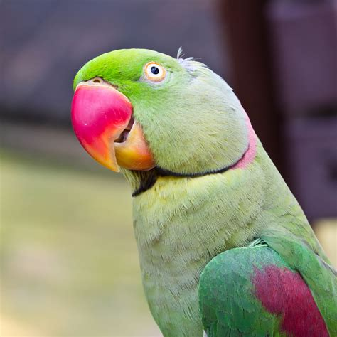 Parrot L by The Secrets Of The Bird World Wait But Why